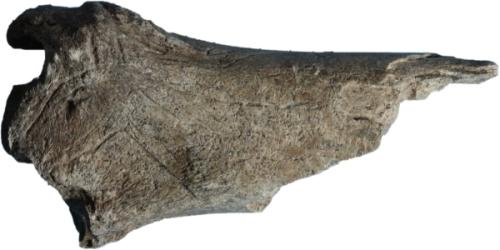 Cierva grabada sobre una tibia de ciervo. © Mario Menéndez. Museo Arqueológico de Asturias