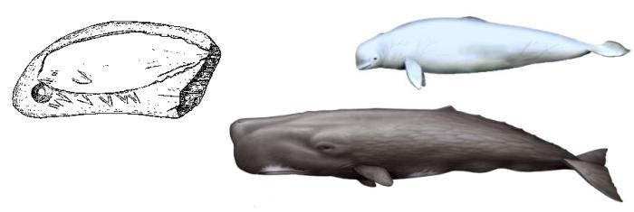 Calco y dibujos comparativos del centaceo representado en el reverso del colgante sobre diente de cachalote. © Soledad Corchón
