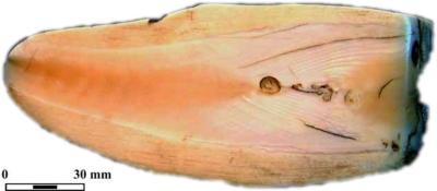 Detalle al microscopio de inclusiones de osteodentina en la cara interna del diente de cachalote. © Soledad Corchón